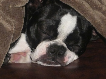 Sheeba the Boston Terrier taking a nap