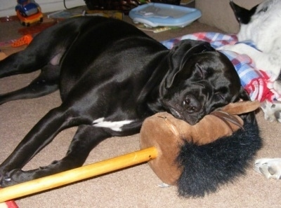The right side of a black with white Boxapoint that is sleeping on a plush horse head attached to a pole. There is another dog sleeping behind it.