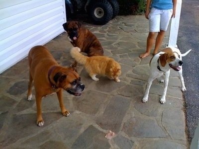 Darley the Beagle Mix, Bruno the Boxer and Allie the Boxer with a cat standing on a porch with a piece of Ham in front of them