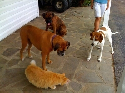 Darley the Beagle Mix, Bruno the Boxer and Allie the Boxer watch the Cat eat the ham
