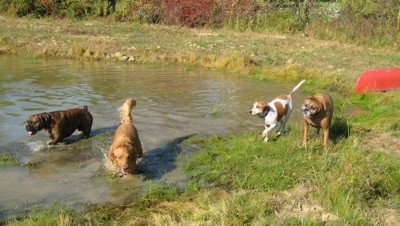 Rusty the Golden Retriever and Bruno the Boxer walk through a pond. With Darley the Beagle Mix and Allie the Boxer walking along the side