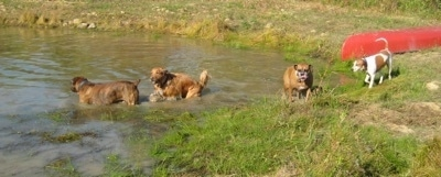 Bruno the Boxer and Rusty the Golden Retriever playing in the pond. Allie the Boxer is coming out of the water Darley the Beagle Mix standing pond side in front of a red row boat