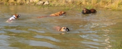 Allie the Boxer, Bruno the Boxer, Rusty the Golden Retriever and Darley the Beagle mix all swimming through the pond