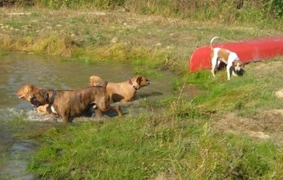 Allie the Boxer, Bruno the Boxer and Rusty the Golden Retriever are in the pond. With Darley the Beagle Mix standing in front of a red canoe