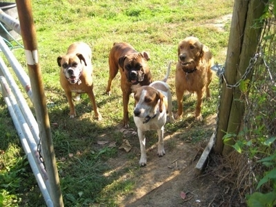 Allie the Boxer, Bruno the Boxer, Rusty the Golden Retriever and Darley the Beagle Mix waiting in front of a gate.