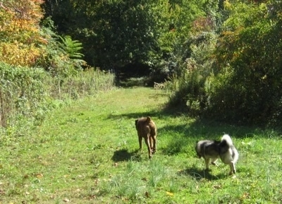 Bruno the Boxer and Tia the Norwegian Elkhound walking into the woods