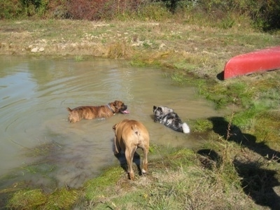 Bruno the Boxer, Tia the Norwegian Elkhound and Allie the Boxer are now swimming in a pond
