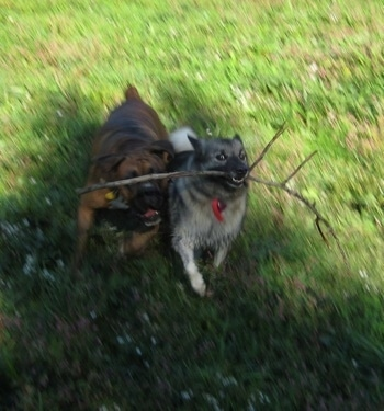 Tia the Norwegian Elkhound is running with a stick and Bruno the Boxer is trying to take the stick from her