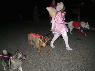 Bruno the Boxer wearing a hot dog costume being walked with other dogs. One dressed as Superman with Tia the Norwegian Elkhound and a girl dressed as a flying pig