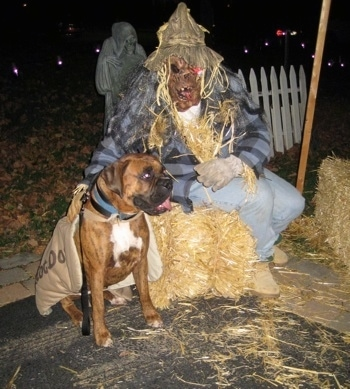 Bruno the Boxer wearing a hot dog costume sitting next to a person wearing a scarecrow costume
