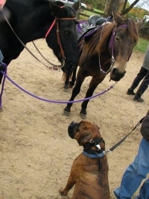 Bruno the Boxer sitting with two horses
