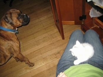 Bruno the Boxer avoiding eye contact with Kung Foo Kitty that is in the lap of the owner