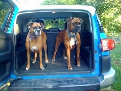 Allie the Boxer and Bruno the Boxer in the back of a blue Toyota FJ Cruiser vehicle