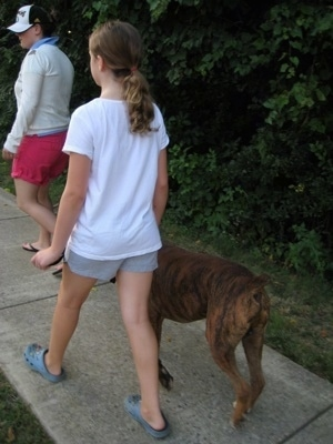 Sara and Bruno the Boxer walking down the street with a person in front of them