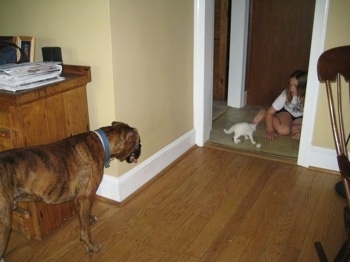 Bruno the Boxer looking at a girl play with Kung foo Kitty