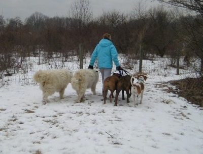 Amie walking Five dogs in snow towards the fenceline
