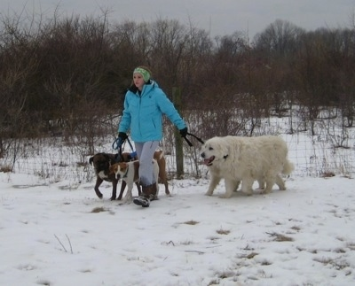 Amie walking Bruno and Allie the boxer, Darley the Beagle mix, Tacoma and Tundra the Great Pyrenees in the snow