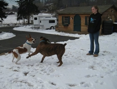 Bruno the Boxer and Darley the Beagle Mix playing. Amie watches