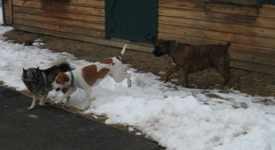Tia the Elkhound, Darley the Beagle mix and Bruno the Boxer running in snow