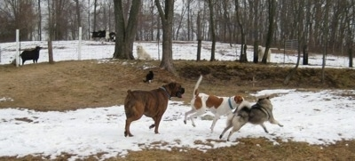 Tia the Elkhound playing with Bruno the Boxer and Darley the Beagle Mix