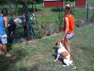 Darley the Beagle mix sitting next to Amie in front of goats behind a chain link fence