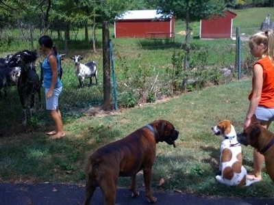 Darley the Beagle Mix sitting next to Amie with Bruno the Boxer and Allie the Boxer standing on the blacktop