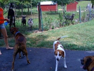 Goats Jumping at the fence, while Bruno the Boxer and Darley the Beagle mix stand on the outside of the fence