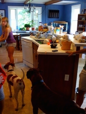 Ham at the edge of a counter. And Darley the Beagle Mix and Bruno the Boxer paying attention to Katie
