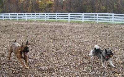Bruno the Boxer and Tia the Norwegian Elkhound with a ball in its mouth running around a dog park