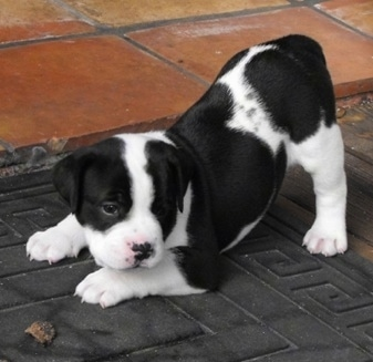 The left side of a white and black Bullador puppy that is in a play bow pose, on a mat and across a porch.