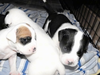 Close Up - Three Bullador puppies are standing on a blanket and inside of a dog crate.