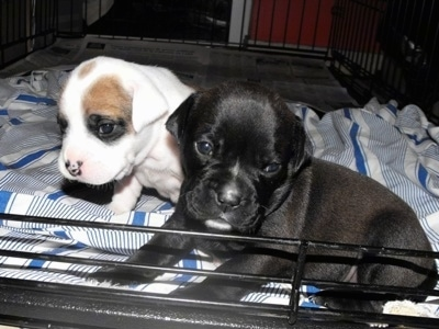 Two Bullador Puppies laying on a blanket inside of a dog crate