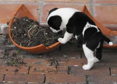 The back left side of a white and black Bullador puppy that is playing inside of a broken pot with soil in it.