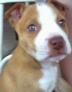 Staffordshire Terrier, Boxer Mix puppy Bella