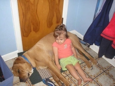 The left side of a tan Bullboxer Staffy Bull that is laying on its side, in front of a door and there is a little girl laying on its stomach.