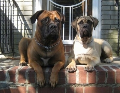 Bullmastiff puppies Izzy at 11 months and Sonny at 4 months