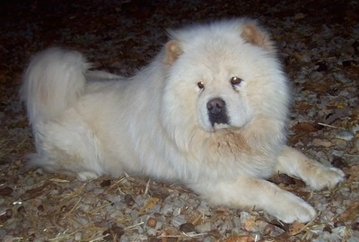Chow Dog Breed Information And