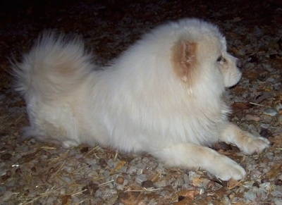Dozer the cream Chow Chow is laying outside on a surface covered in rocks
