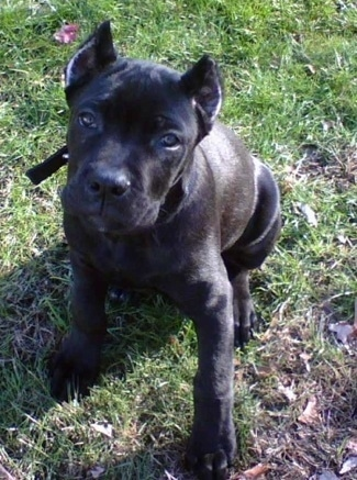 Cyde the black Cane Corso puppy is sitting on grass outside and looking up