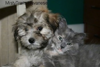 Havanese Puppy and Kallie the Kitten are laying with their faces next to each other and looking towards the camera holder