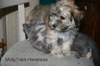 Havanese Puppy is standing over top of Kallie the Kitten on a chair and the kitten looks relaxed