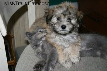 Havanese Puppy is laying over Kallie the Kitten. Kallie the kitten is playfully biting the Havanese puppy who is looking at the camera holder