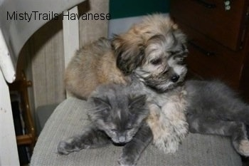 Havanese Puppy is laying on top of Kallie the Kitten who is looking down