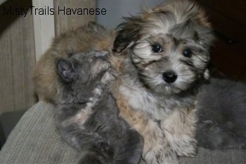 Havanese Puppy that is laying overtop of Kallie the kitten and she is grooming the puppy