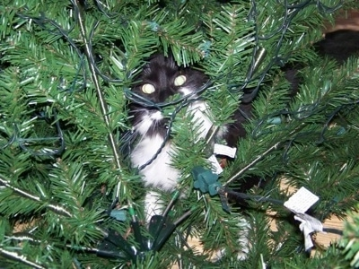 Sylvester the black and white cat hiding in a Christmas tree
