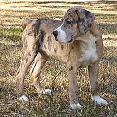 Wilson's Shugah the Catahoula Bulldog is standing outside in grass and looking to the back