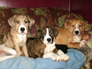 Three Catahoula Bulldog puppies, two laying down and one sitting, on a couch on top of a person's leg