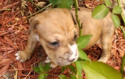Catahoula Bulldog Puppy sitting in wood chips under a rose bush and weeds