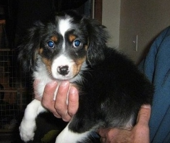Cava Shell Dog Breed Information And Pictures