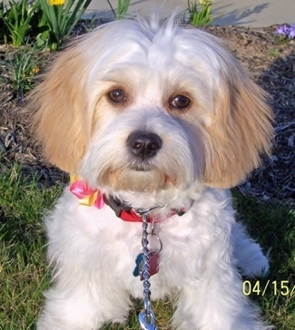 Cavachon Dog Breed Information And Pictures